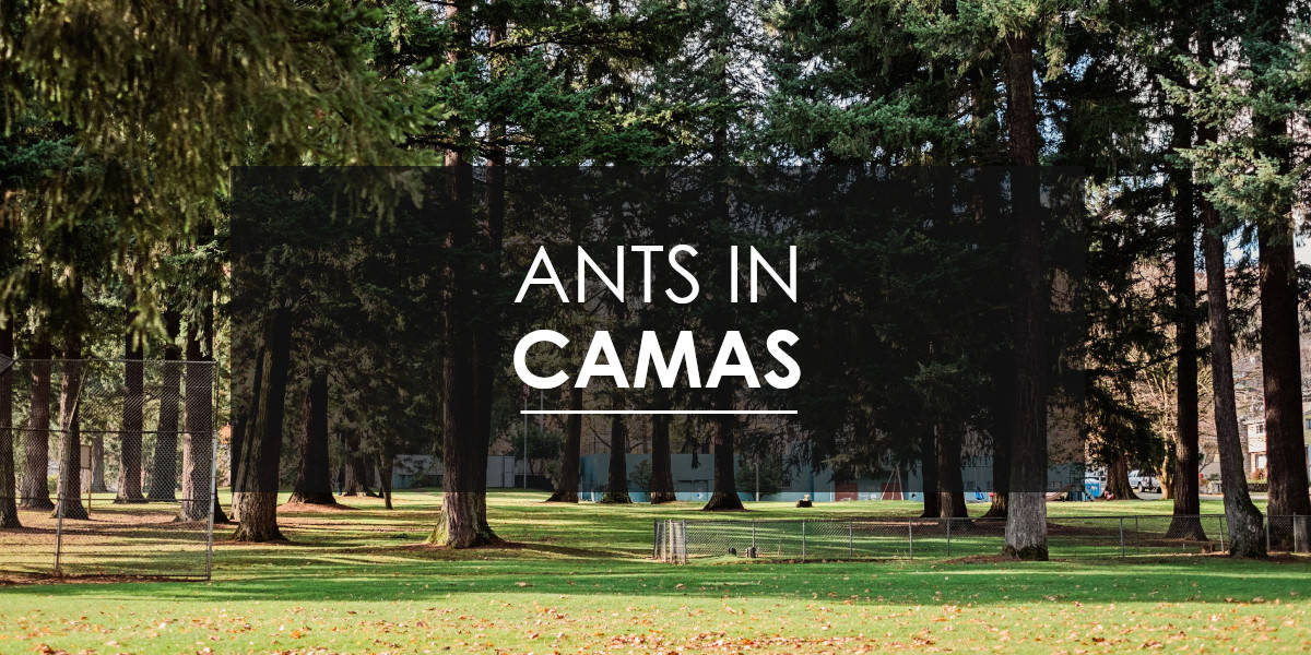 Ant Control in Camas