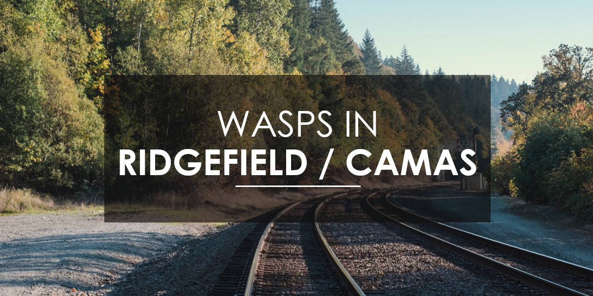 Wasps in Ridgefield and Camas