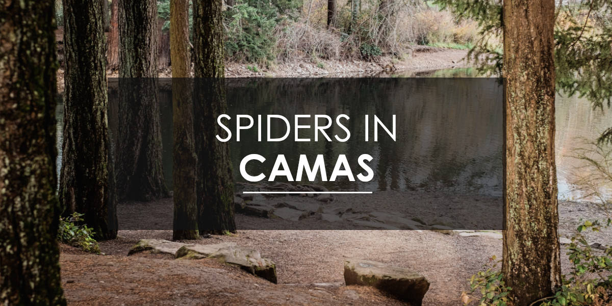 Spiders in Camas