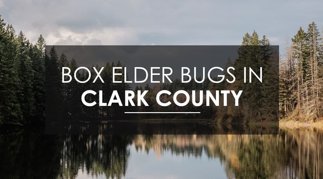 Exterminating Boxelder and  Stink Bugs In Clark County