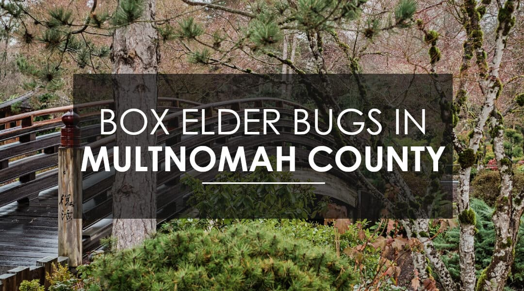 Exterminating Boxelder Beetles and Stink Bugs In Multnomah County