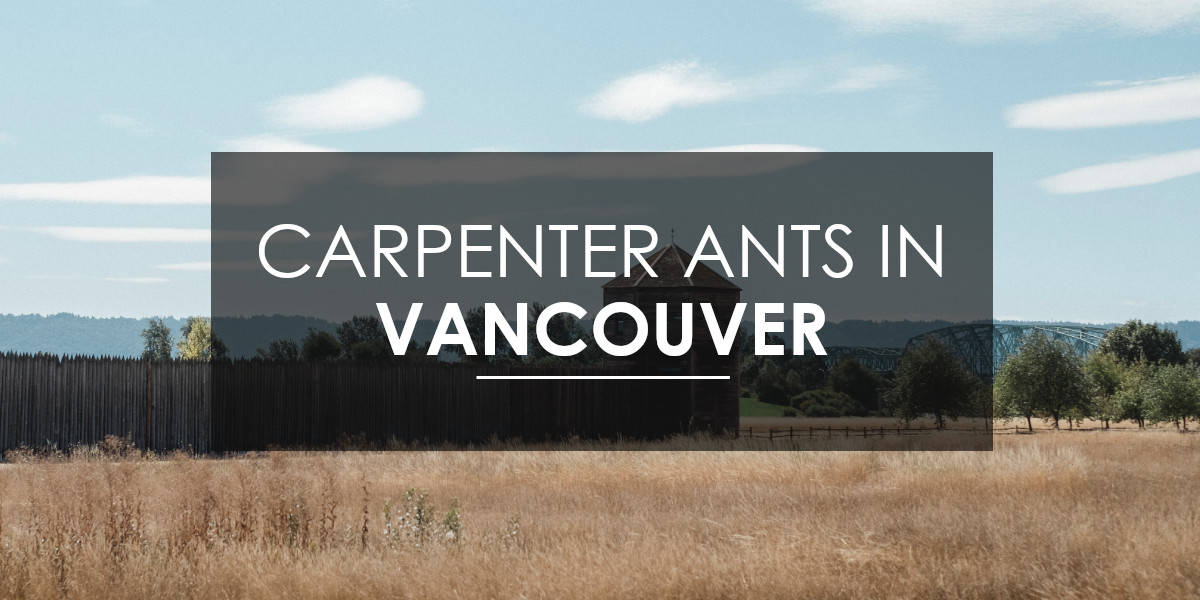 Carpenter ants in Vancouver