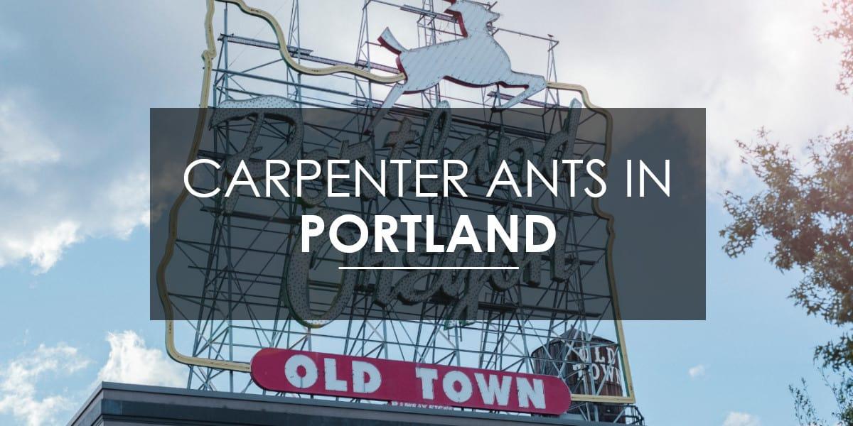Carpenter ants in Portland