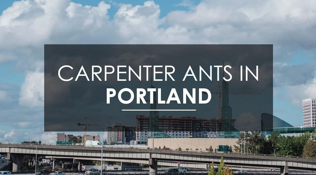 How Do I Get Rid of Carpenter Ants in Portland, OR?