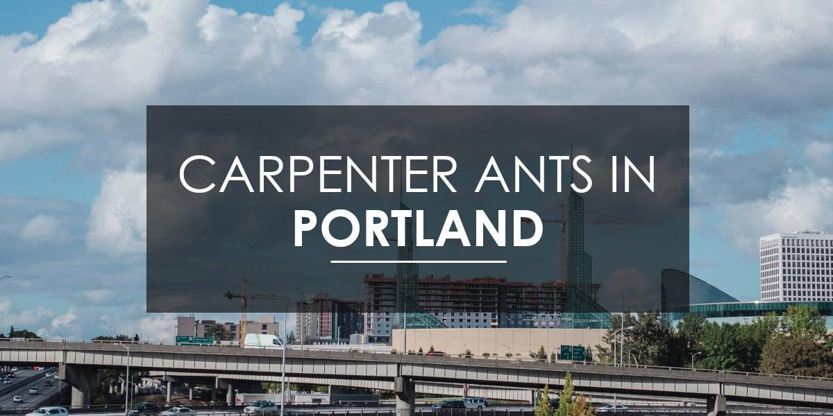 Carpenter ant in Portland