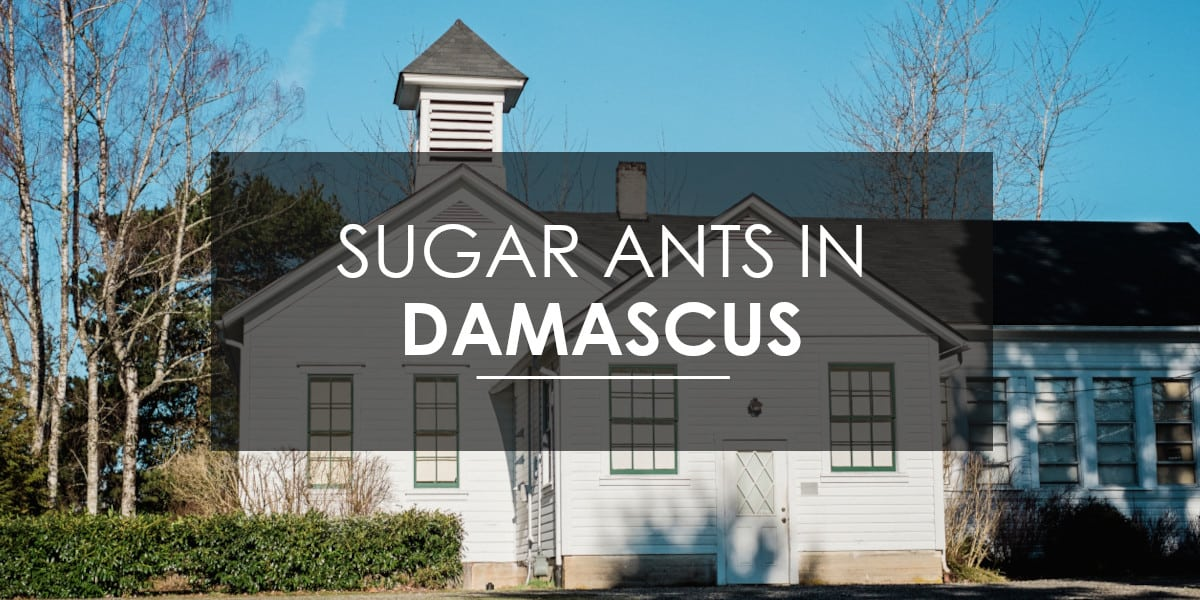 Ants in Damascus