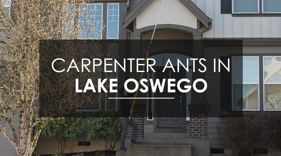How to Exterminate Carpenter  Ants in Lake Oswego