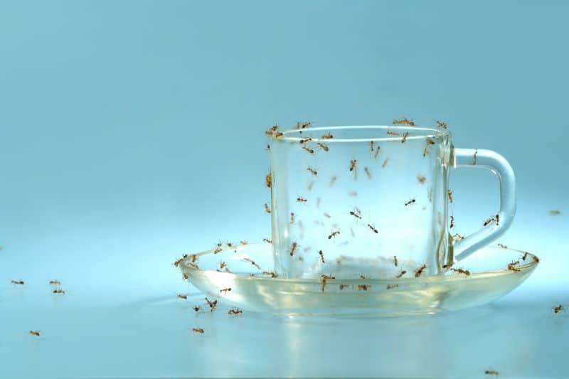 How Do You Exterminate  Sugar Ants in Felida?