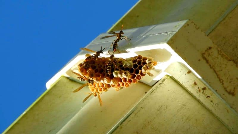 wasp nest on exterior of home