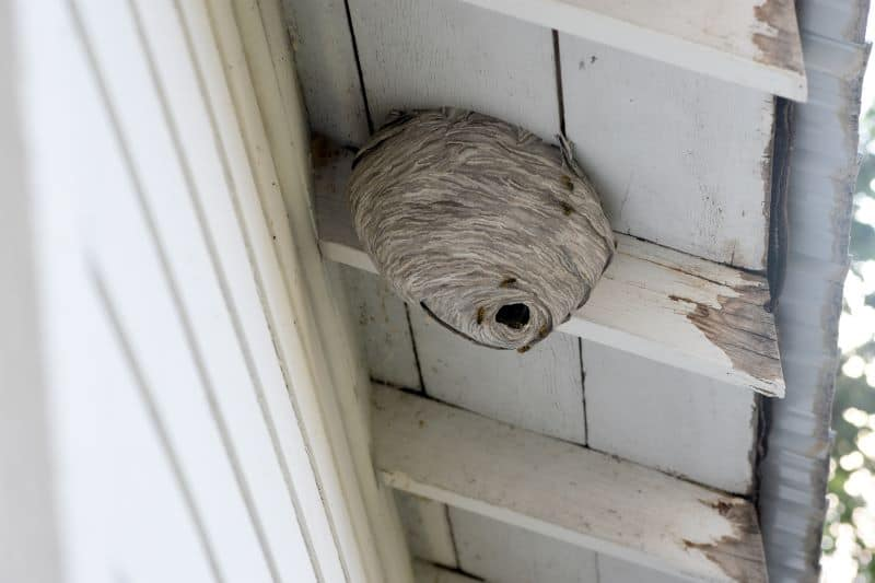 wasp nest under eaves of home