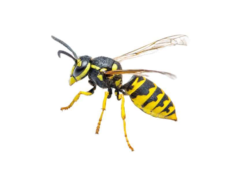 How to Exterminate Wasps, Hornets, and Yellow Jackets in Oregon City