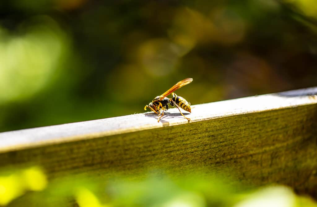 wasp on wooden porch railing