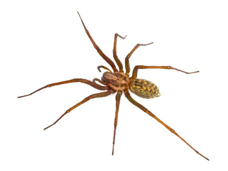 large house spider on white background