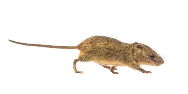 harvest mouse on white background
