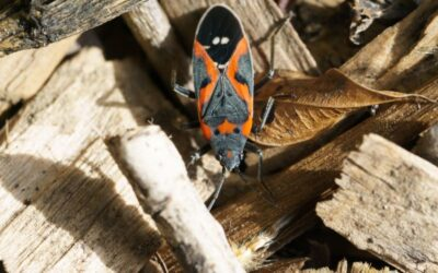 6 Things To Know About Boxelder Bugs