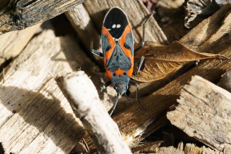 box elder bug on wood background