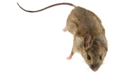 DO THIS To Exterminate Mice  From Your Milwaukie, OR Home