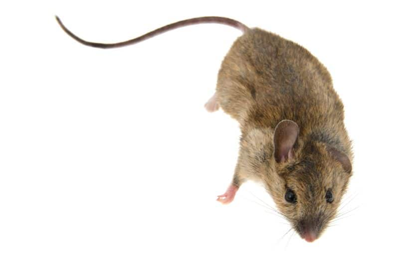 house mouse on white background