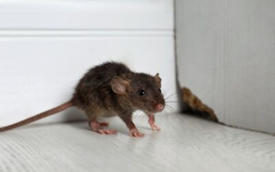 Mice In Your Orchards Home?  DO THIS!