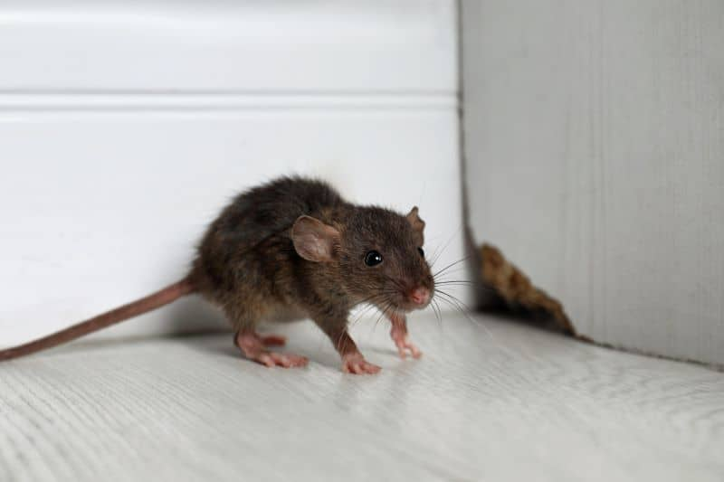 mouse on floor of home