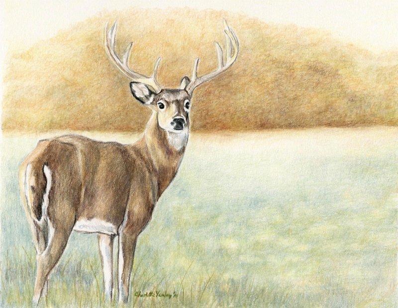 """""""White Tail Deer"""""""