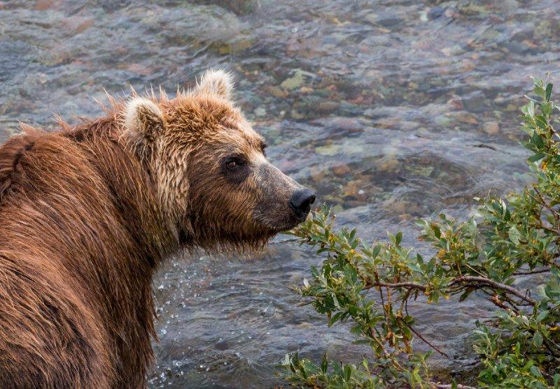 """Brown Bear, Katmai"""