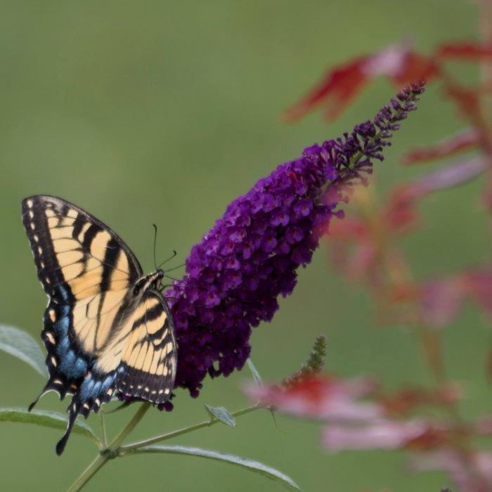 """Butterfly on Butterfly Bush, VA"""