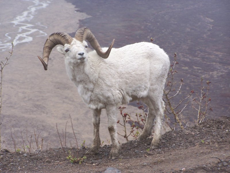 """""""Dall Sheep, AK"""""""