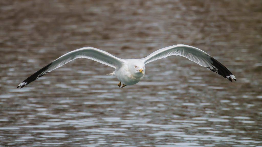 """""""Gull in Flight, PA"""""""