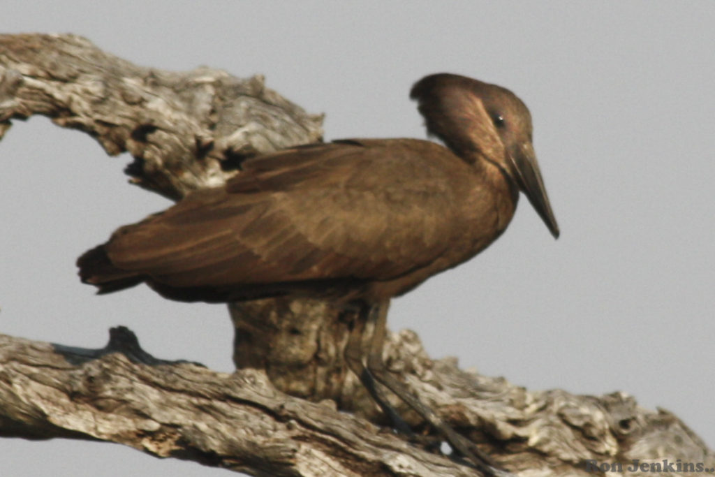 """""""Hamerkop, Botswana"""""""