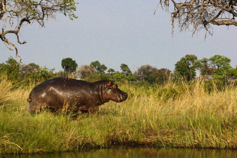 """""""Happy Hippo, Africa"""""""