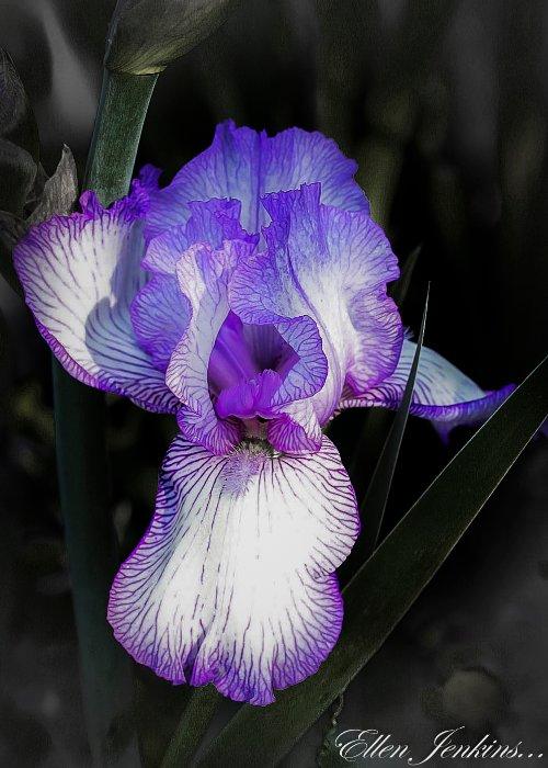 """Iris 2, Carlisle Garden"""