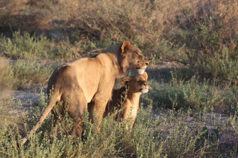 """""""Lion and Cub, Africa"""""""