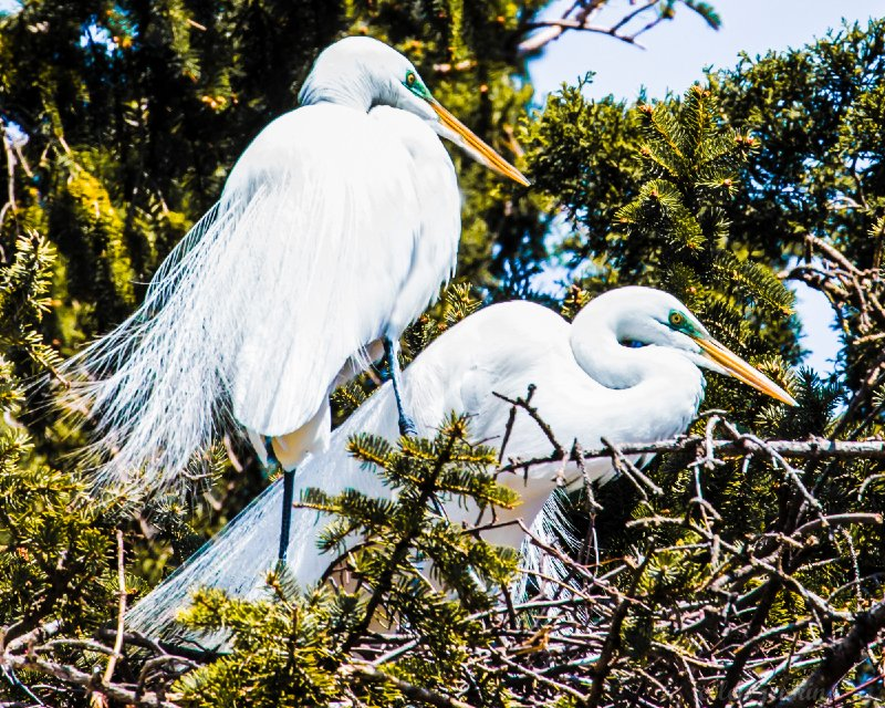 """Nesting Egrets, PA"""
