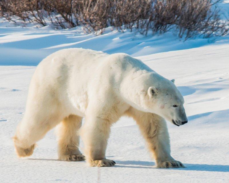 """Polar Bear, Churchill"""