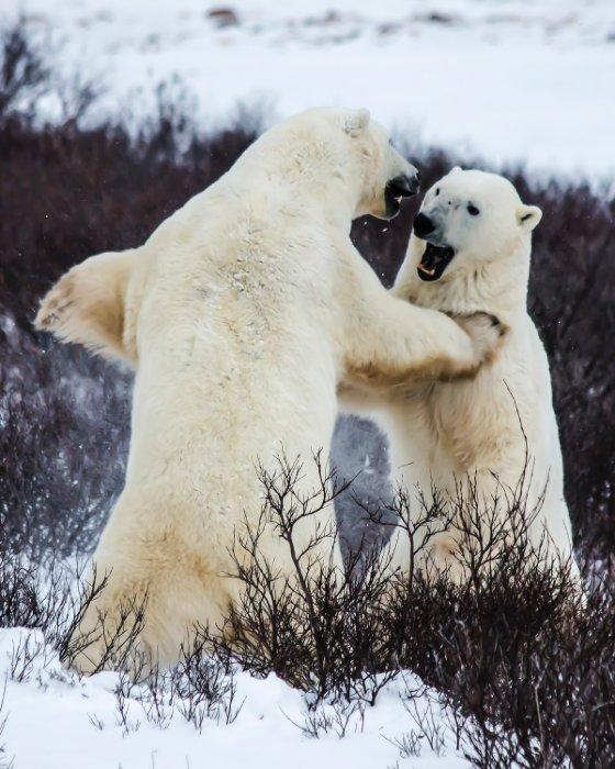 """""""Polar Bears, Churchill"""""""