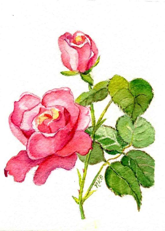 """Queen Elizabeth Rose"""
