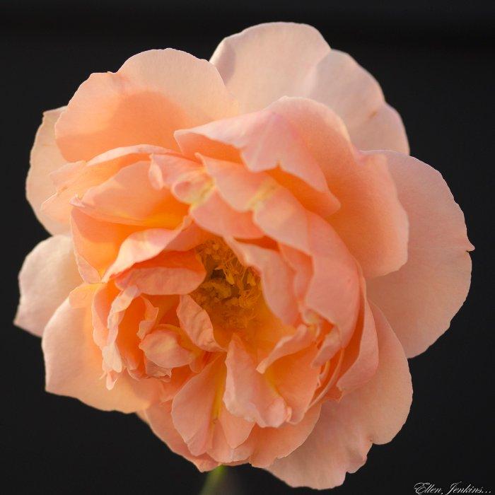 """""""Rose 2, Carlisle Garden"""""""