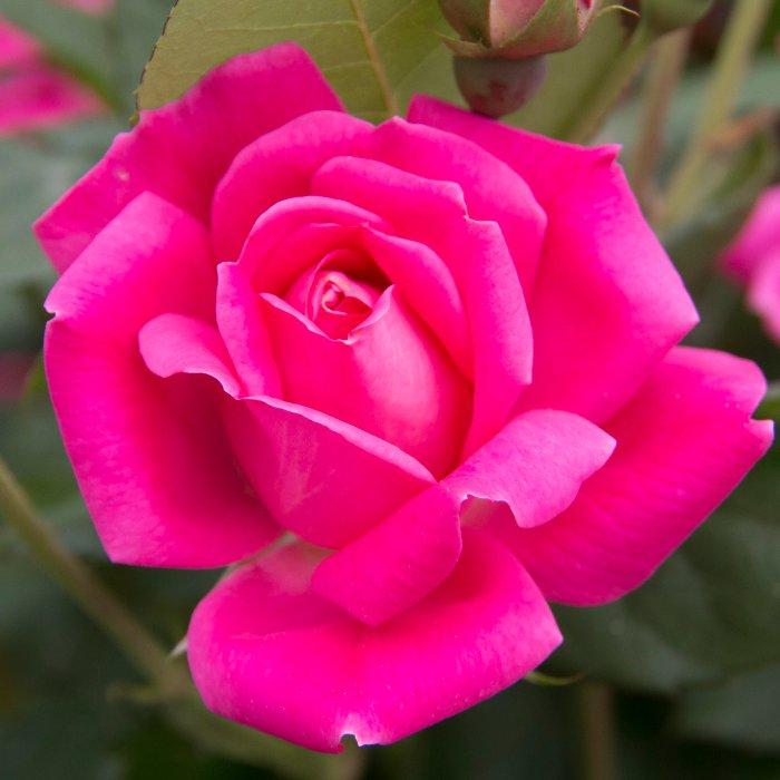 """""""Rose, PA"""""""