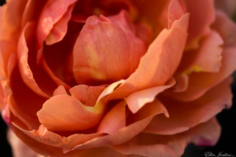 """""""Rose 1, Carlisle Garden"""""""
