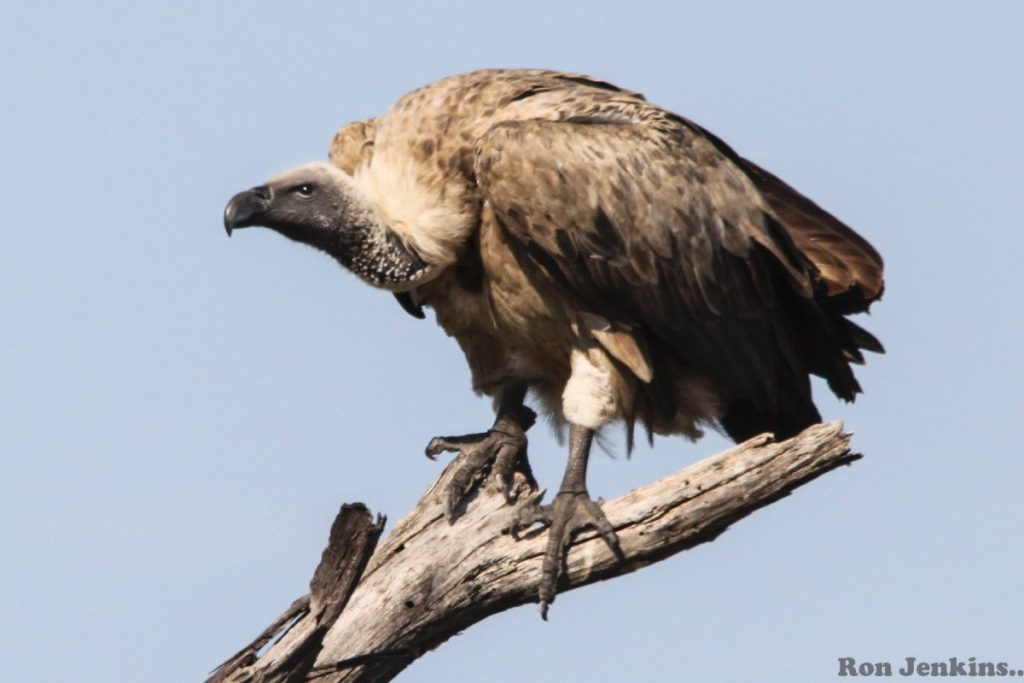 """White-Backed Vulture, Victoria Falls"""