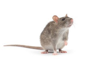 Rodent Removal Services