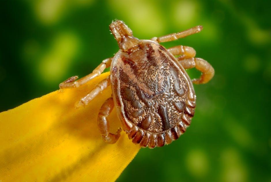 flea vs tick