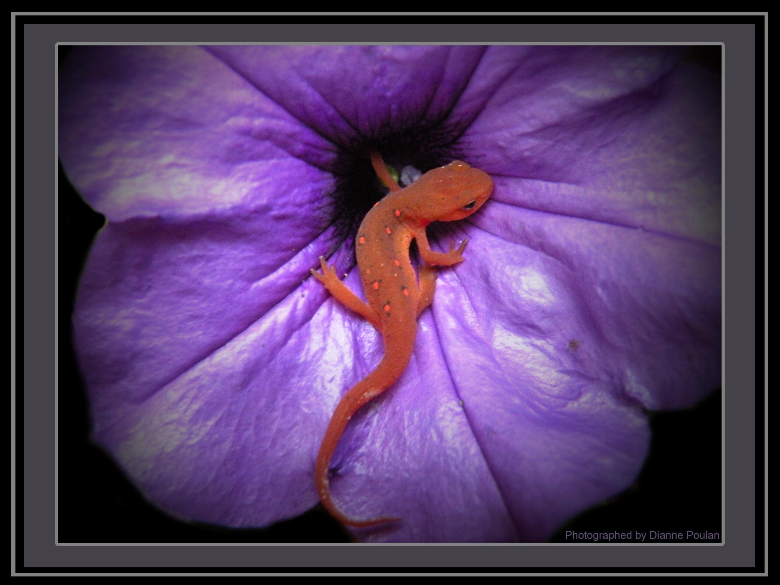 Salamander-Photo