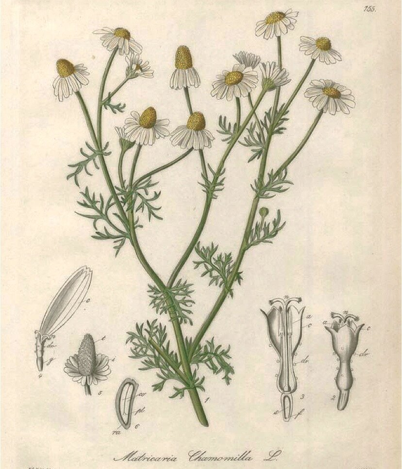 The Wonder of Calming Chamomile For The Skin related article image
