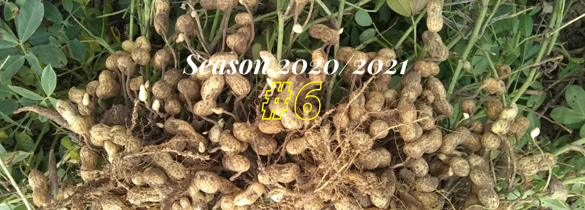 Argentine Peanut Crop Report 2020/2021 #6