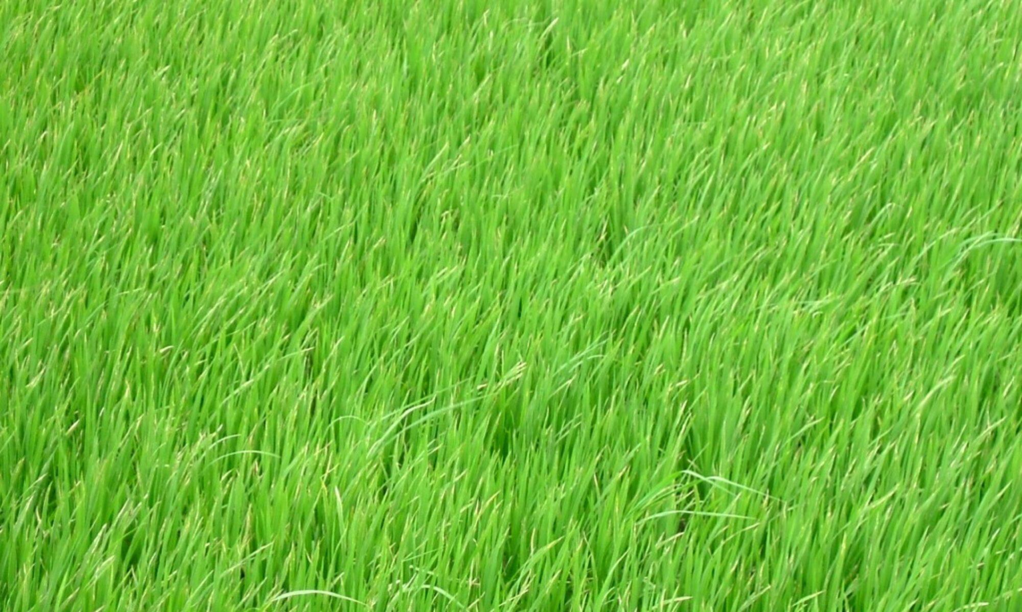 Rice Field, Viet Nam