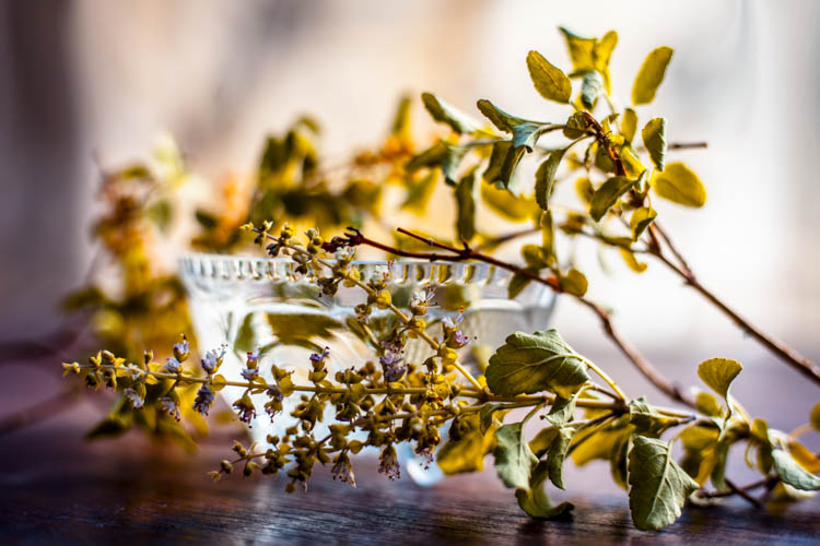 holy basil tulsi benefits fortify chai