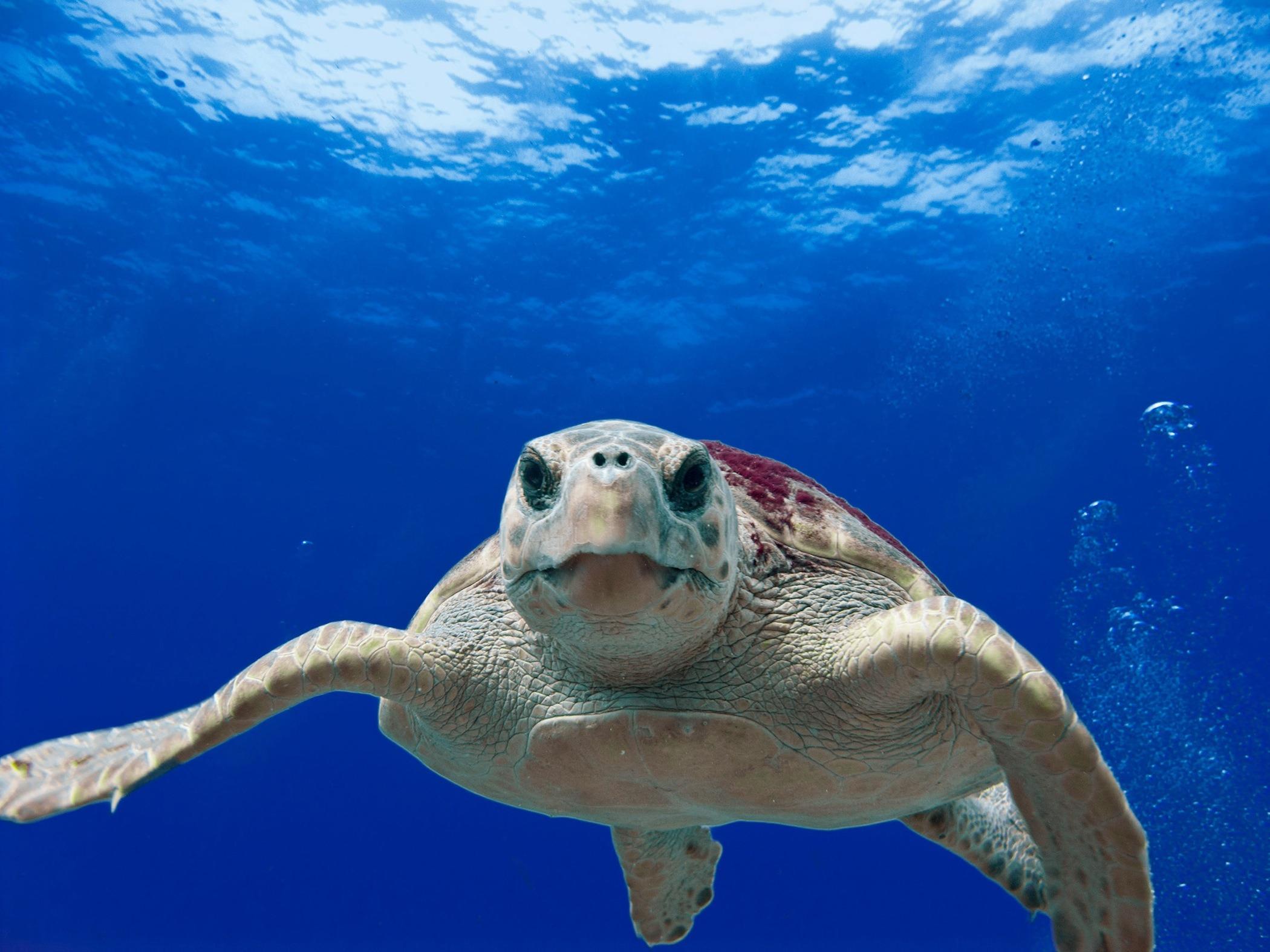 BVI day sailing loggerhead-turtle