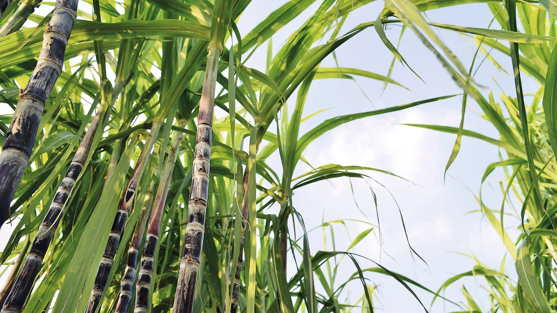 Sugarcane Farming, Sugarcane Refining